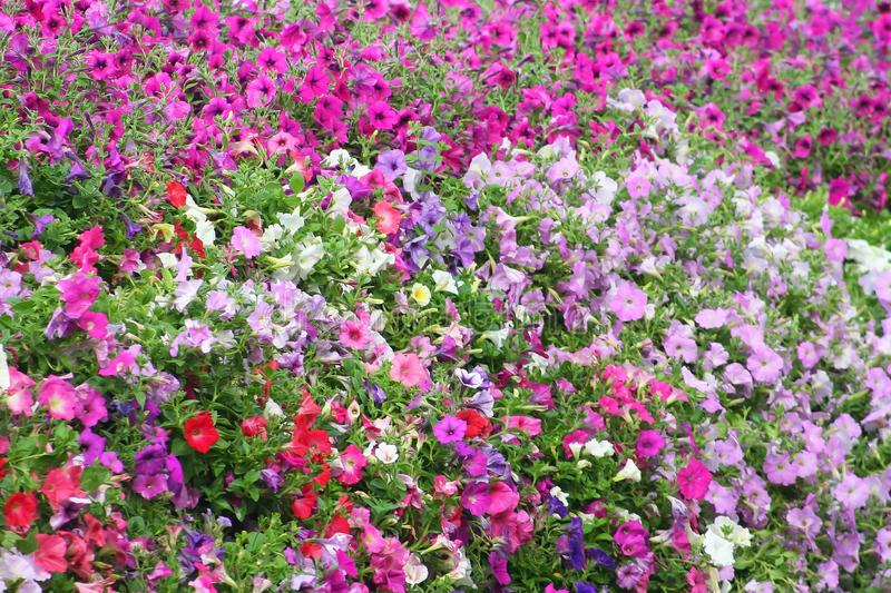 Colorful flowers background, colorful petunia at garden stock photography