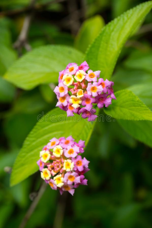 Close up of colorful flowers clusters and green leaves. Nature floral background royalty free stock images