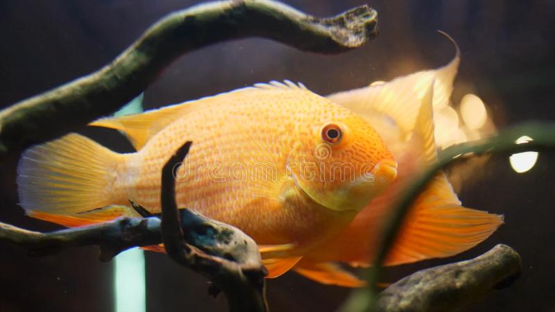 Close up for colorful goldfish swimmimg slowly in a glass freshwater tank with plants and algae. Frame. Golden fishes. Close up for colorful goldfish swimmimg royalty free stock image