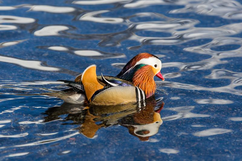 Close-up colorful mandarin duck aix galericulata in water stock photo