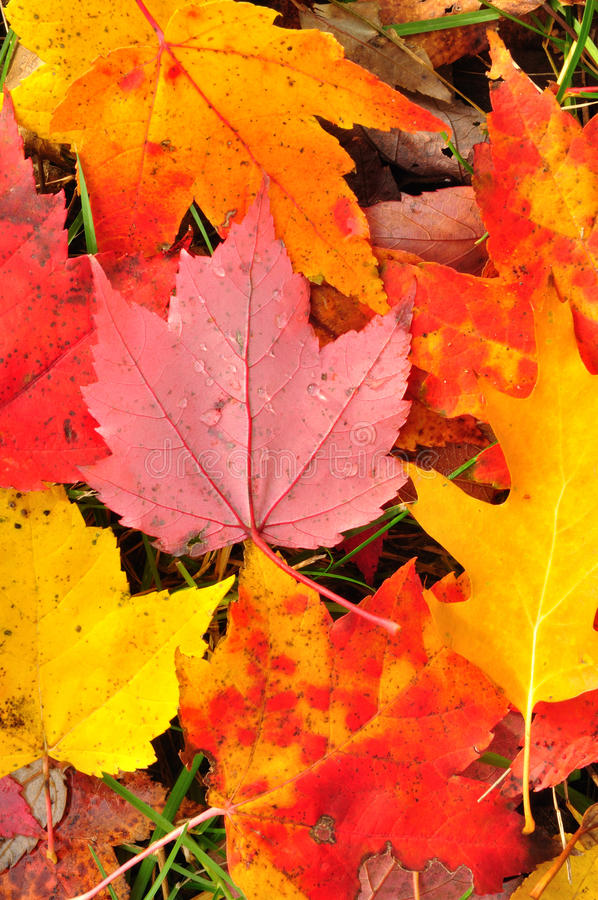 Close-up Of A Colorful Maple Leaves Stock Image