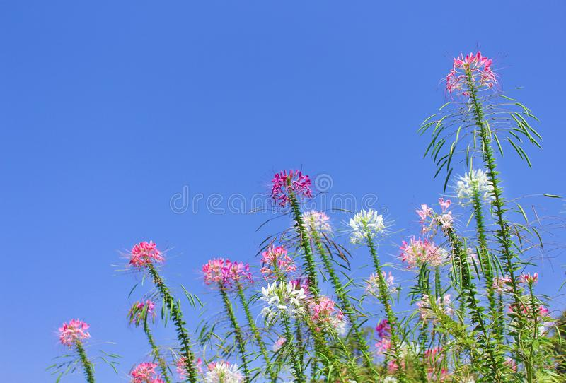 Colorful muticolred spider flowers group natural patterns blooming on bright blue sky background. Close up Colorful muticolred spider flowers group natural royalty free stock photography