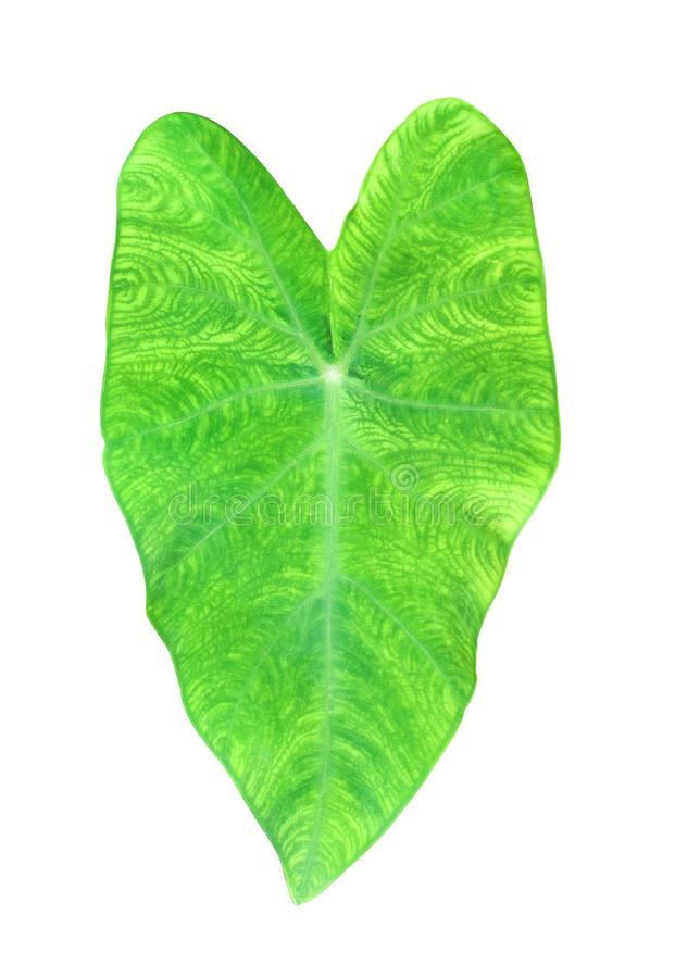 Colorful nature green taro leaves texture in heart shaped patterns isolated on white background with clipping path royalty free stock photography