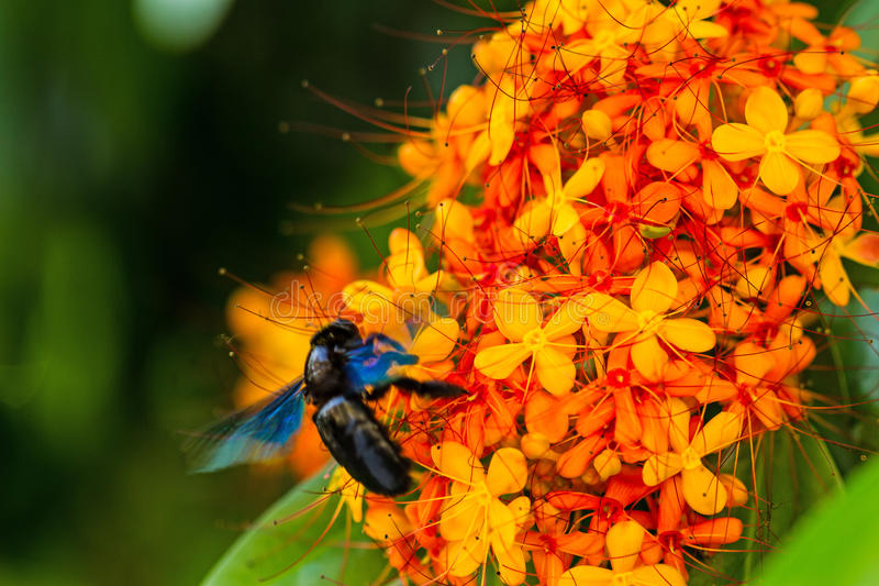 Close-up the colorful orange and yellow blooms of Saraca asoca stock image
