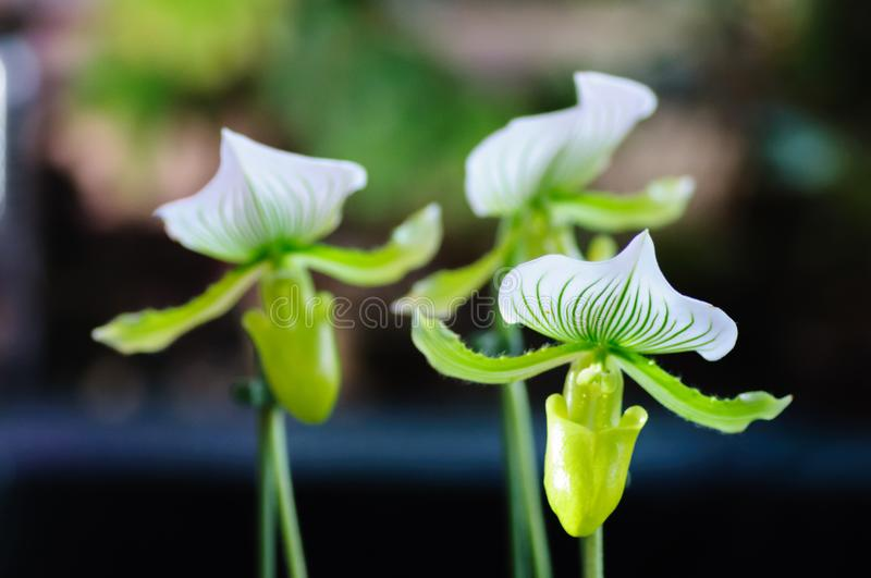Close up on a colorful paphiopedilum or lady slipper orchid at tropical flower stock photography