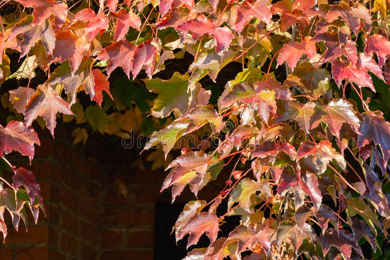 Close-up of colorful Parthenocissus tricuspidata `Veitchii` or boston ivy, grape ivy, Japanese ivy or Japanese creeper royalty free stock photography