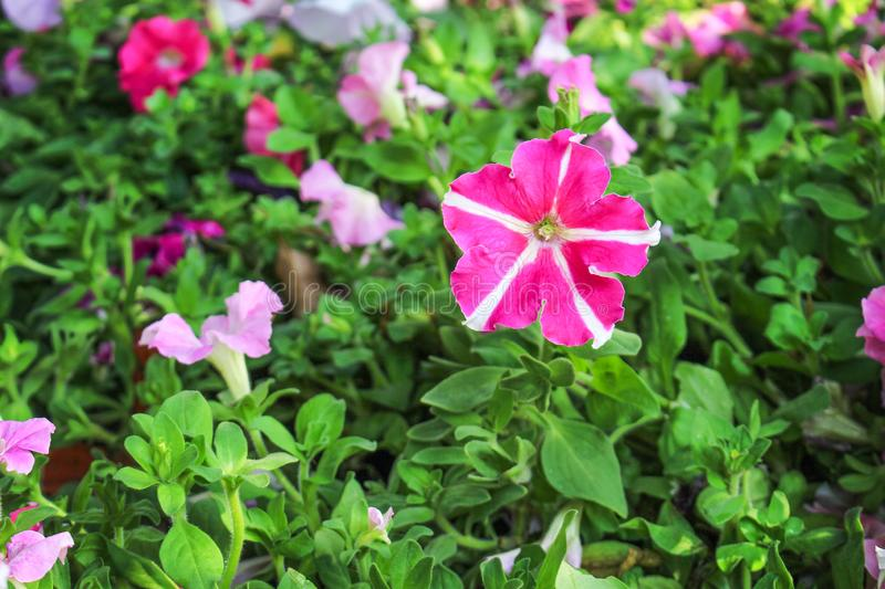 Colorful petunia flower blooming in garden stock image