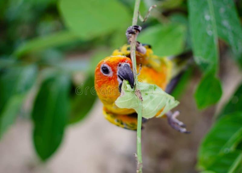 Close-up colorido do papagaio em um ramo que come a folha foto de stock