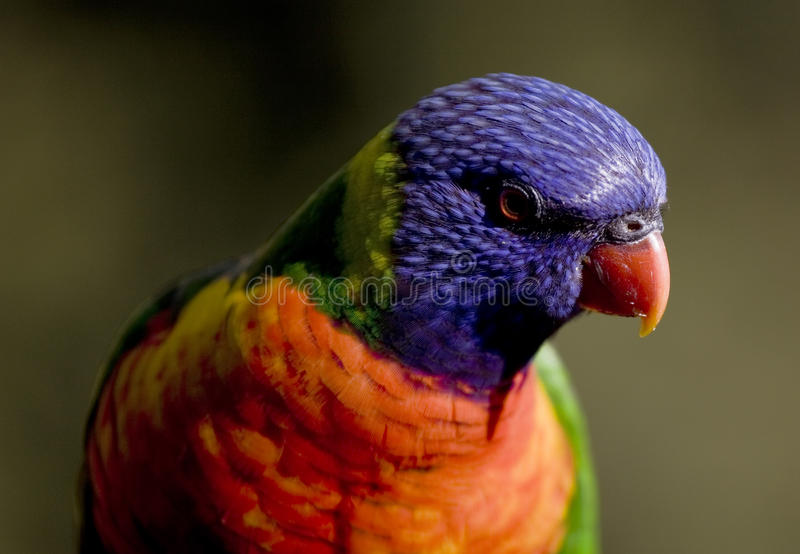 Download Close Up Of Colourful Rainbow Lorikeet Stock Photo - Image: 17917684