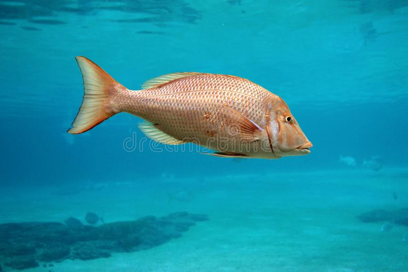 Close up colourful, single bright orange tropical fish swimming in ocean setting. royalty free stock image