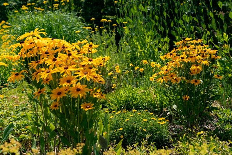 Colourful yellow coneflowers in bright sunshine stock photos