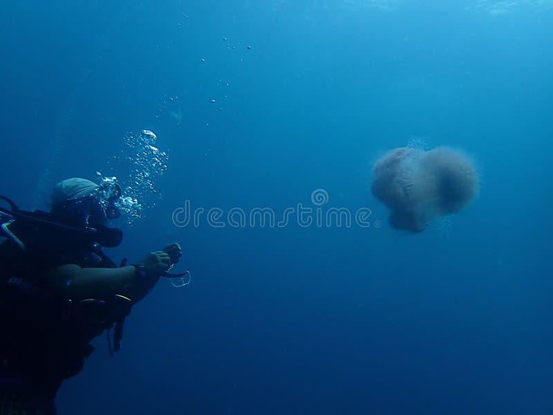 Close up com um mergulhador de mergulhador e um tiro macro das medusa ou das geleias do mar no mergulho subaquático do mundo em S fotografia de stock