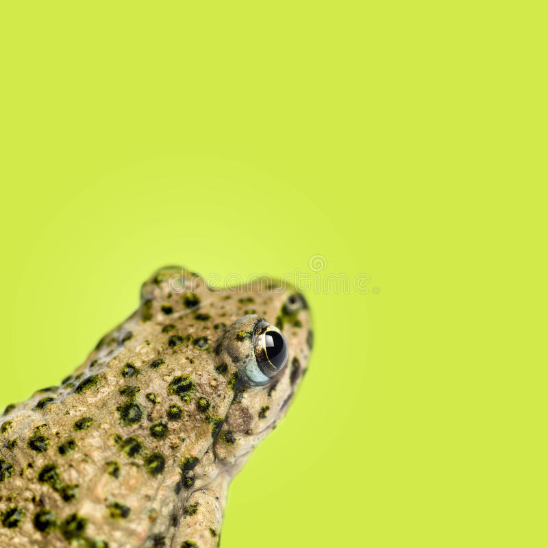 Close-up of a Common parsley frog rear view, Pelodytes punctatus, on green background stock photography