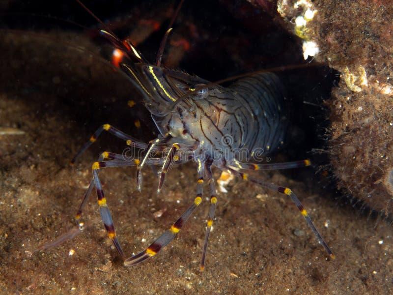 Common prawn, Palaemon serratus. Close-up of Common prawn, Palaemon serratus. Scuba diving in Loch Fyne, Scottish West Coast royalty free stock image