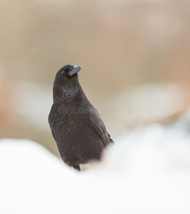 Portrait of a Raven. A close-up of a Common Raven (Corvus corax) showing it's intelligence and beauty in a winterly snow-covered ambient royalty free stock images