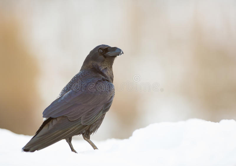 Portrait of a Raven. A close-up of a Common Raven (Corvus corax) showing it's intelligence and beauty in a winterly snow-covered ambient royalty free stock photography
