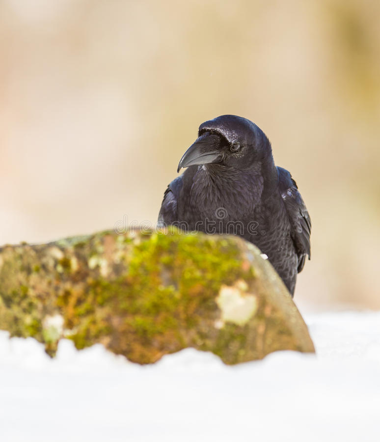 Portrait of a Raven. A close-up of a Common Raven (Corvus corax) showing it's intelligence and beauty in a winterly snowed ambient royalty free stock photography