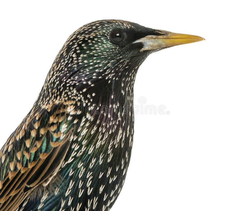 Close-up of a Common Starling, Sturnus vulgaris, isolated. On white royalty free stock image