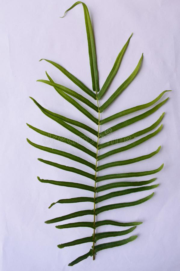 Close up of Compound Pinnate green leaves, leaflets in rows, two at tip. White background. Vertical formation. Abstract vain stock images