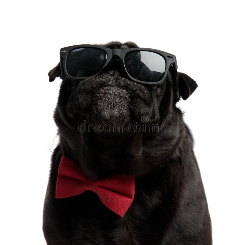 Close up of a confident pug looking forward stock image