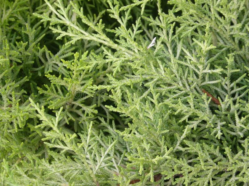 Leaves of coniferous Thuja plant. Close up of coniferous Thuja or Arborvitaes or Cedar plant in the garden stock photography