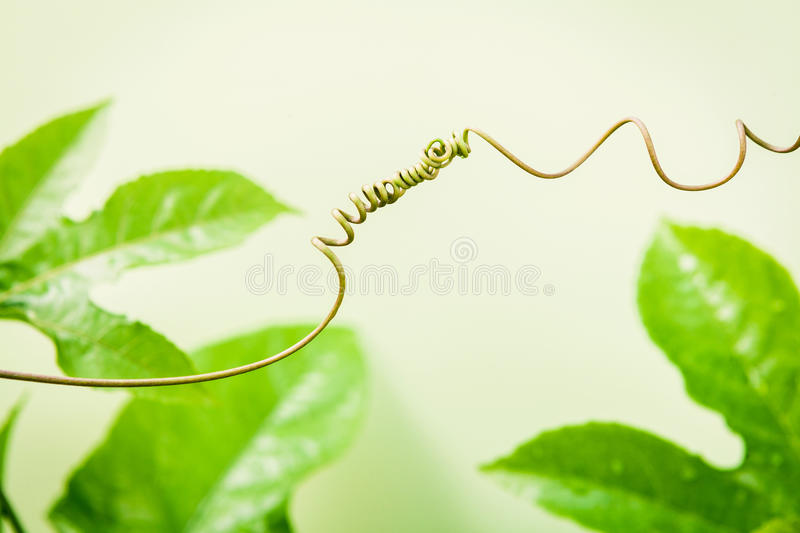 Close up of connected vine on light green background . Connected royalty free stock image
