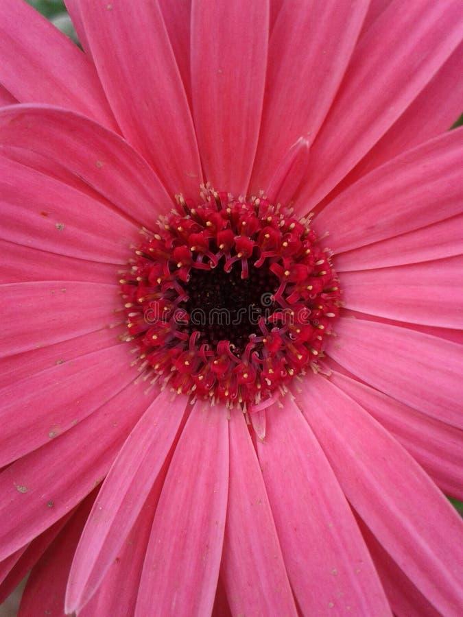 Close up cor-de-rosa imagem de stock