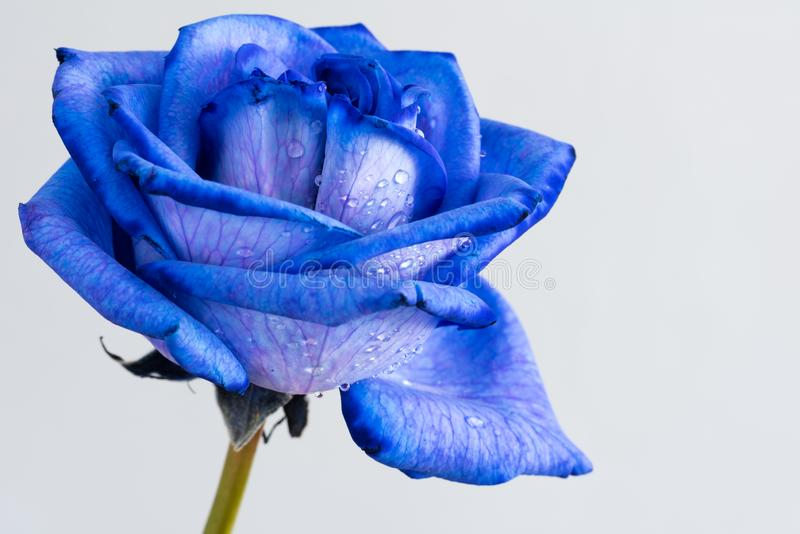 Close up cor-de-rosa azul foto de stock