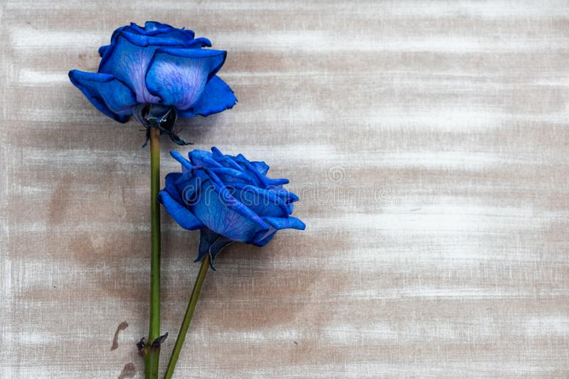 Close up cor-de-rosa azul foto de stock royalty free