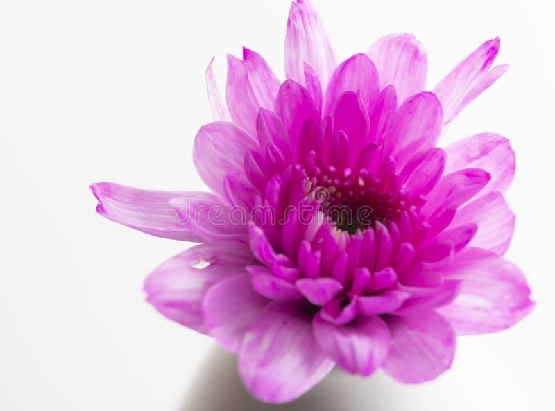 Close-up cor-de-rosa bonito da flor do crisântemo sobre a garrafa sobre fotos de stock