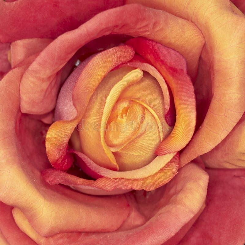 Close up cor-de-rosa da flor da falsificação alaranjada imagens de stock royalty free