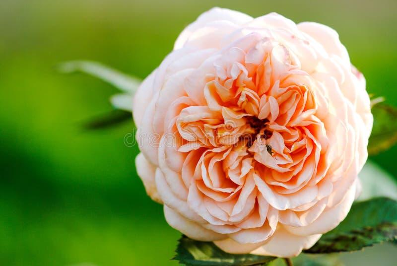 close-up cor-de-rosa da flor em um fundo verde foto de stock
