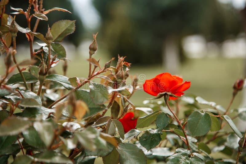 Close up cor-de-rosa delicado vermelho Foco seletivo com profundidade de campo rasa fotografia de stock
