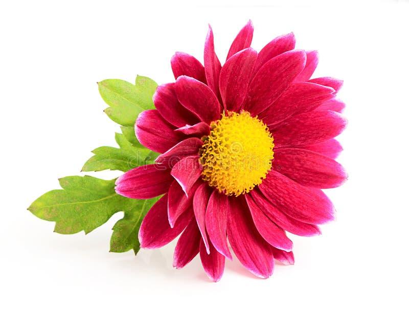 Close-up cor-de-rosa pequeno do crisântemo. imagens de stock royalty free