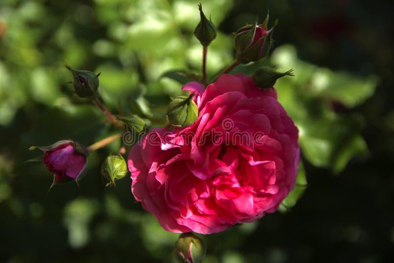 Close-up cor-de-rosa vermelho contra um fundo das folhas verdes e de um azul foto de stock