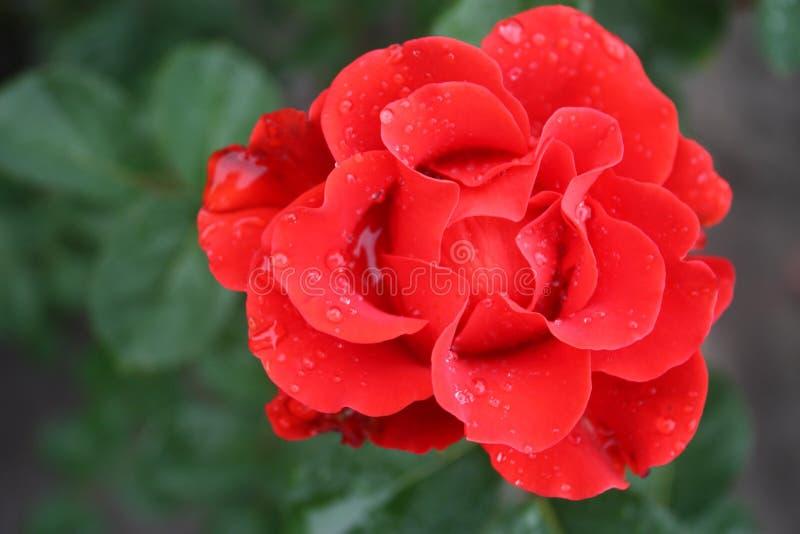 Close up cor-de-rosa vermelho da flor em um fundo das folhas verdes foto de stock