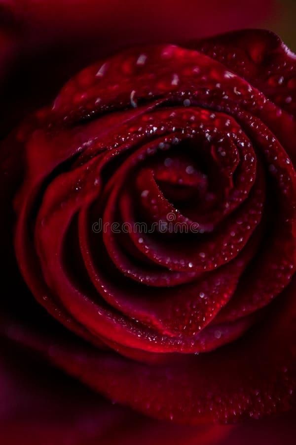 Close up cor-de-rosa vermelho de Softfocus com a foto macro da gota imagem de stock royalty free