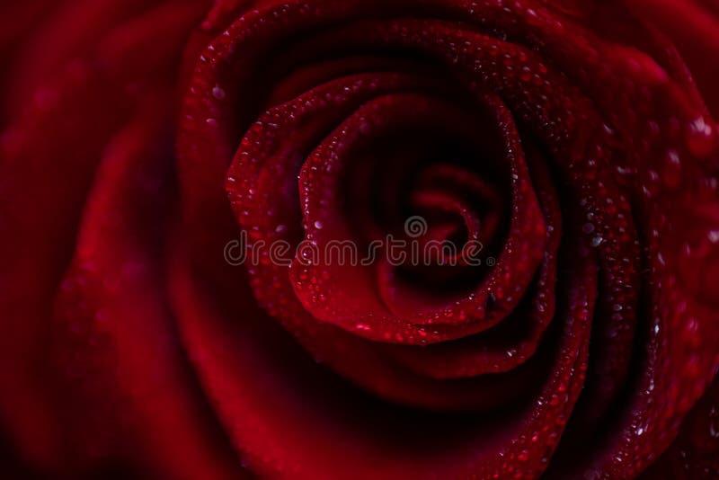 Close up cor-de-rosa vermelho de Softfocus com a foto macro da gota imagens de stock royalty free