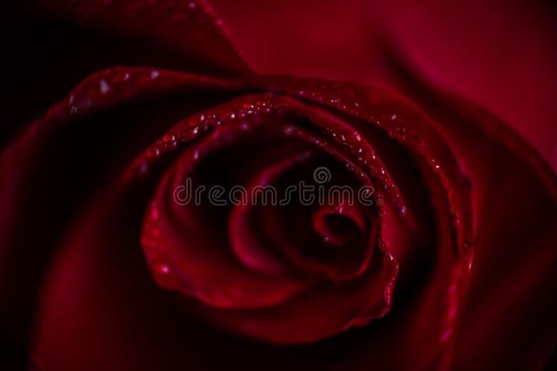 Close up cor-de-rosa vermelho de Softfocus com a foto macro da gota foto de stock