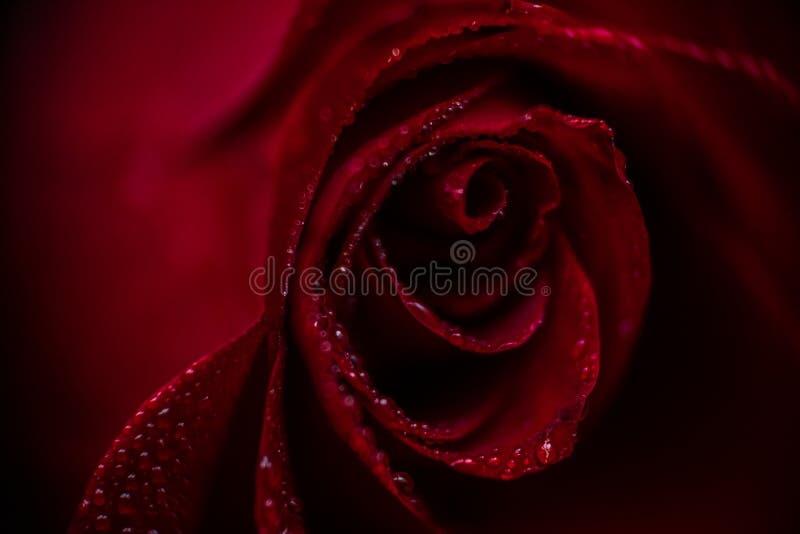 Close up cor-de-rosa vermelho de Softfocus com a foto macro da gota imagens de stock