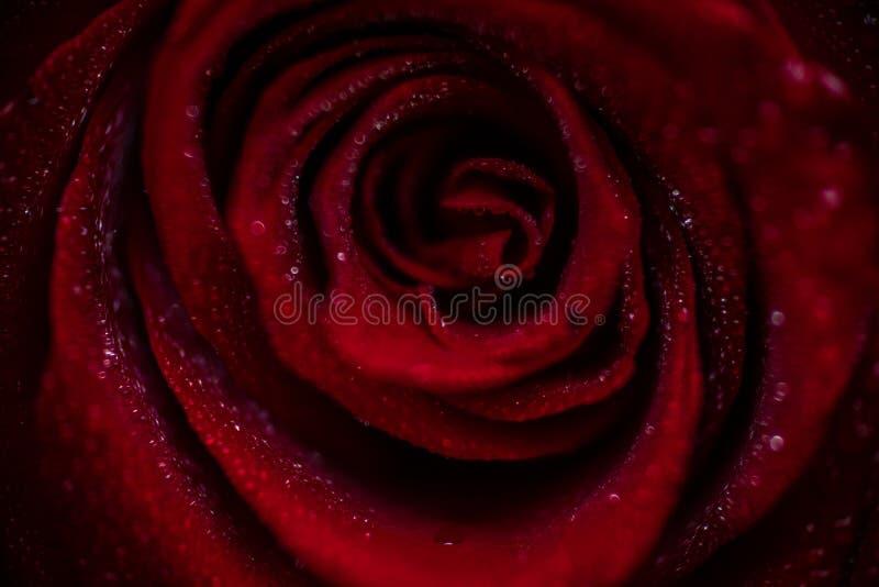 Close up cor-de-rosa vermelho de Softfocus com a foto macro da gota fotografia de stock royalty free