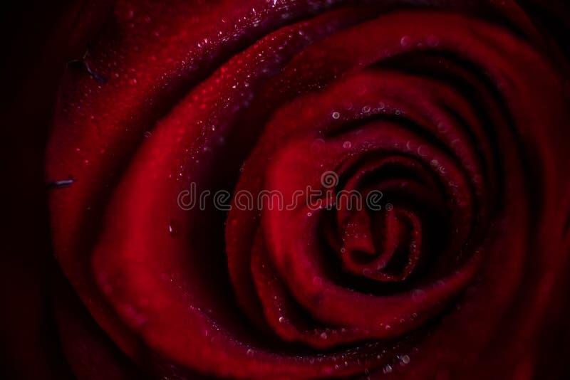 Close up cor-de-rosa vermelho de Softfocus com a foto macro da gota fotografia de stock