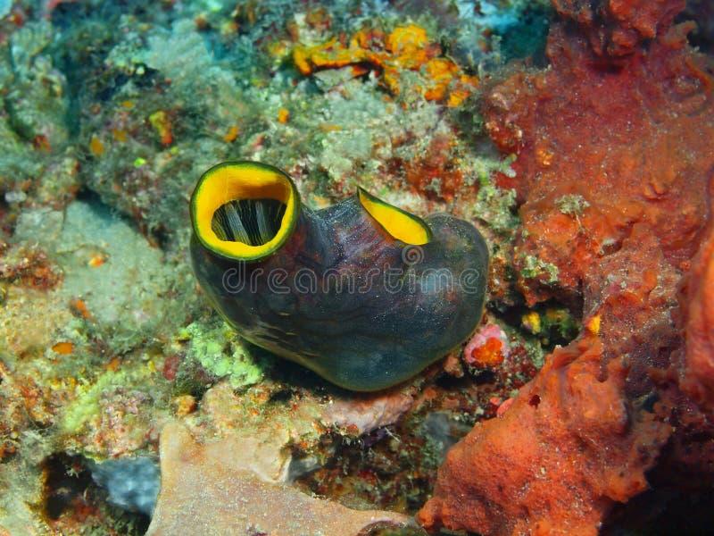 Close-up coral macio Indonésia Sulawesi imagens de stock