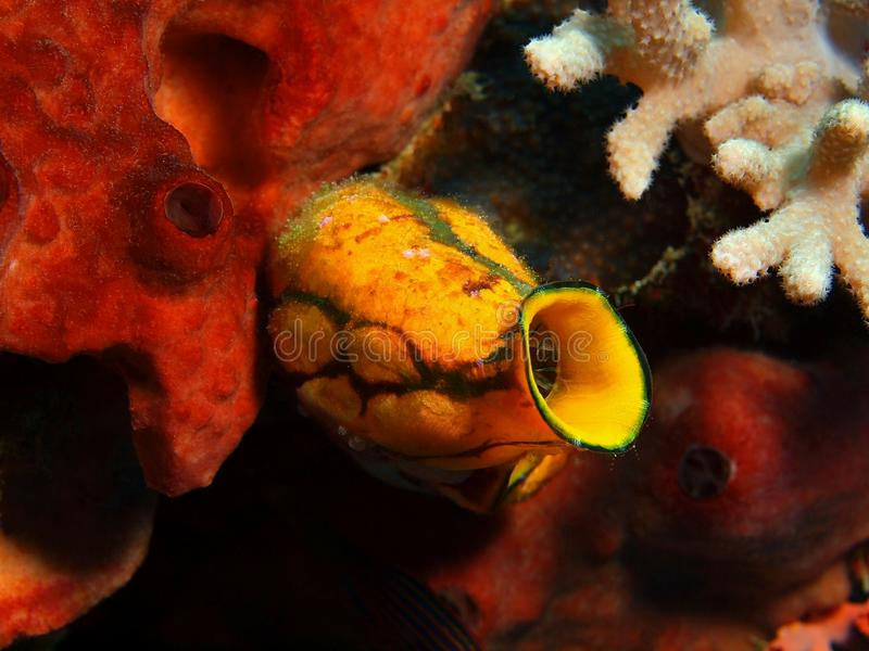 Close-up coral macio Indonésia Sulawesi foto de stock