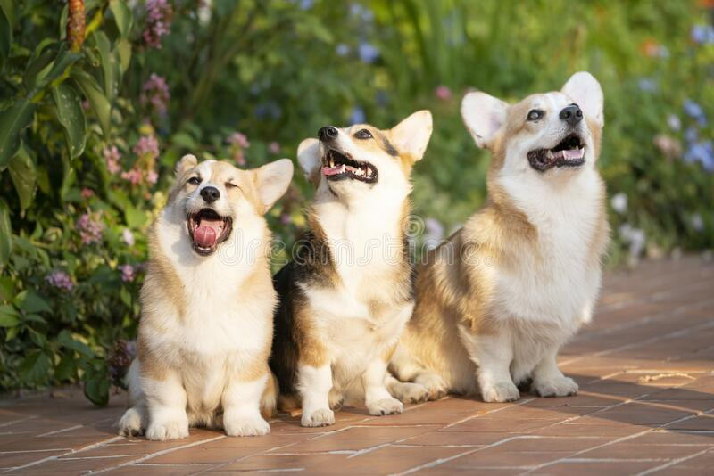 Corgi dog pets in summer sunny day stock images