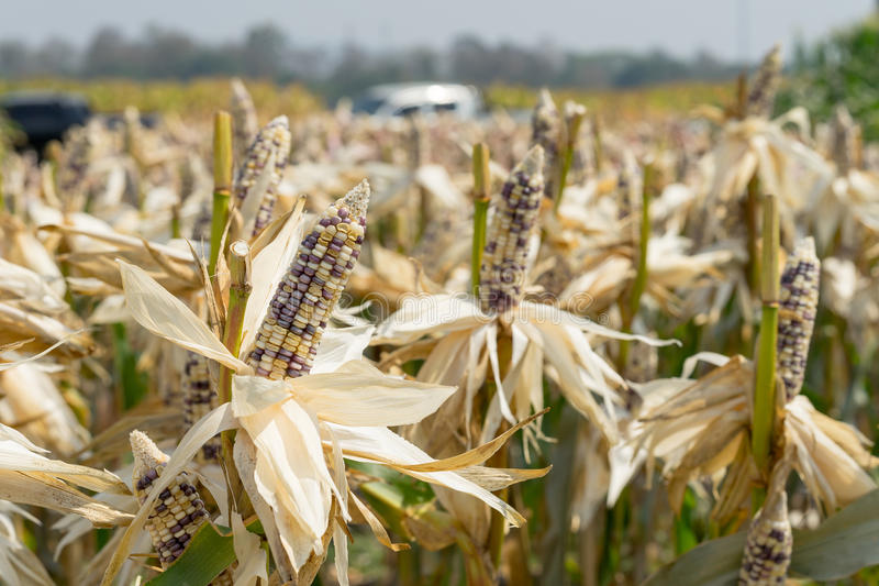 Close up corn field on crop plant for harvesting royalty free stock photography