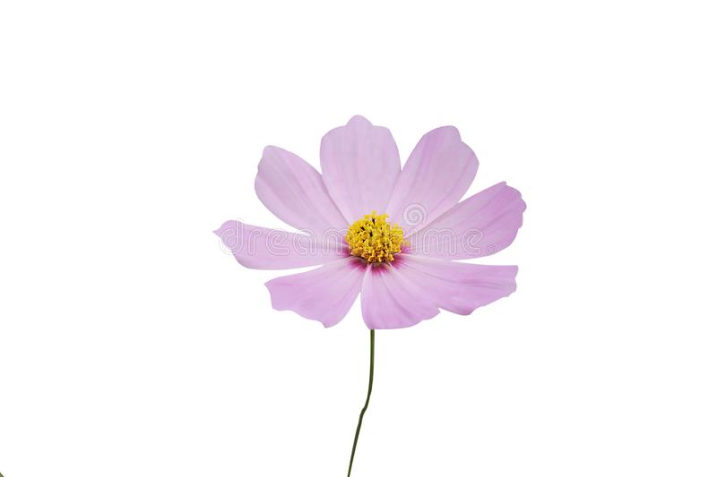 Close up cosmos flower,Mexican aster flower isolated on white background stock photos