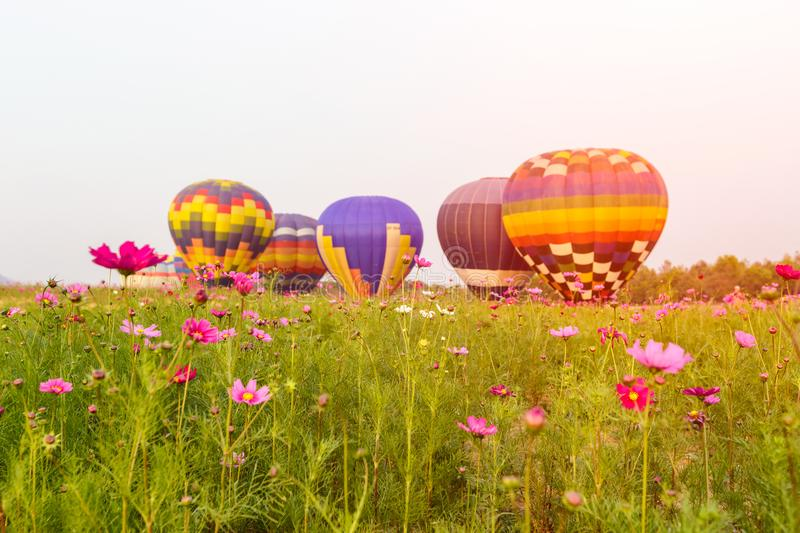 Close up cosmos flowers field with group hot air balloons background, Chiang Rai Province royalty free stock photography