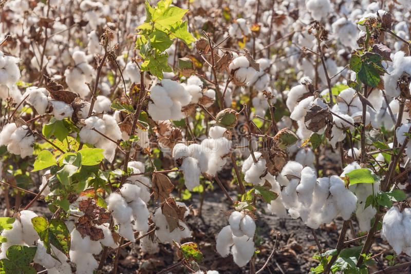 Row of cotton fields ready for harvesting in South Texas, USA. Close-up cotton bud stem on fields ready for harvesting in Corpus Christi, Texas, USA. Agriculture royalty free stock images