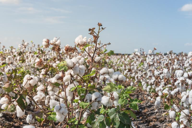 Row of cotton fields ready for harvesting in South Texas, USA. Close-up cotton bud stem on fields ready for harvesting in Corpus Christi, Texas, USA. Agriculture royalty free stock image